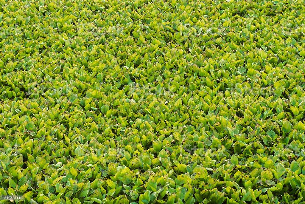 Hyacinth leaves in lake. stock photo