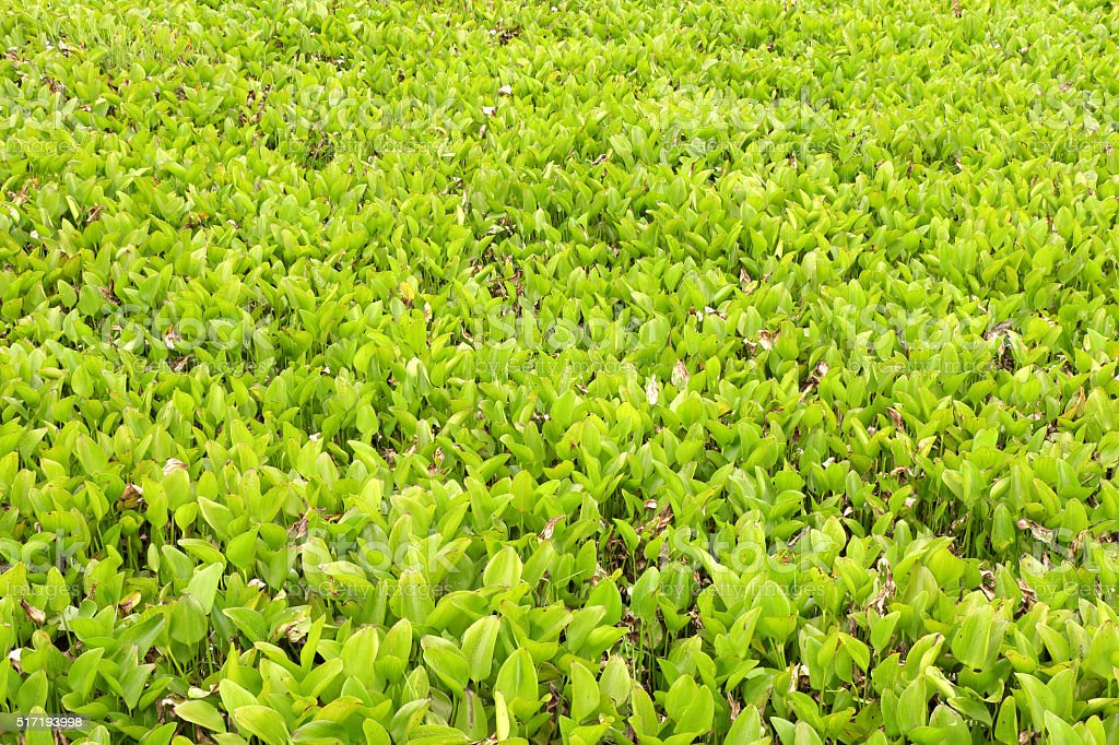 hyacinth leaves in swamp as green background. stock photo