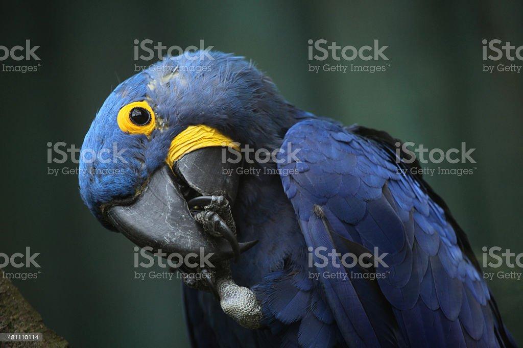 Hyacinth macaw (Anodorhynchus hyacinthinus). stock photo