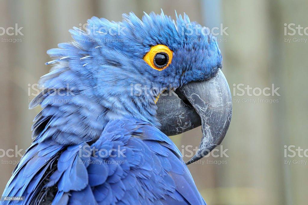 Hyacinth Macaw stock photo