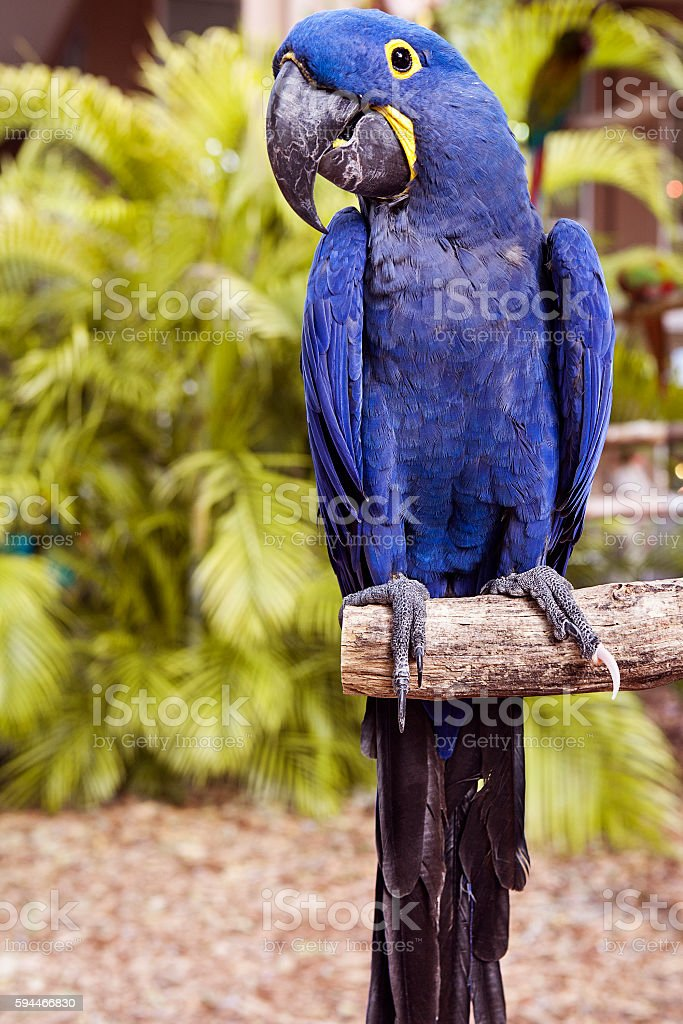Hyacinth macaw playing in tree stock photo