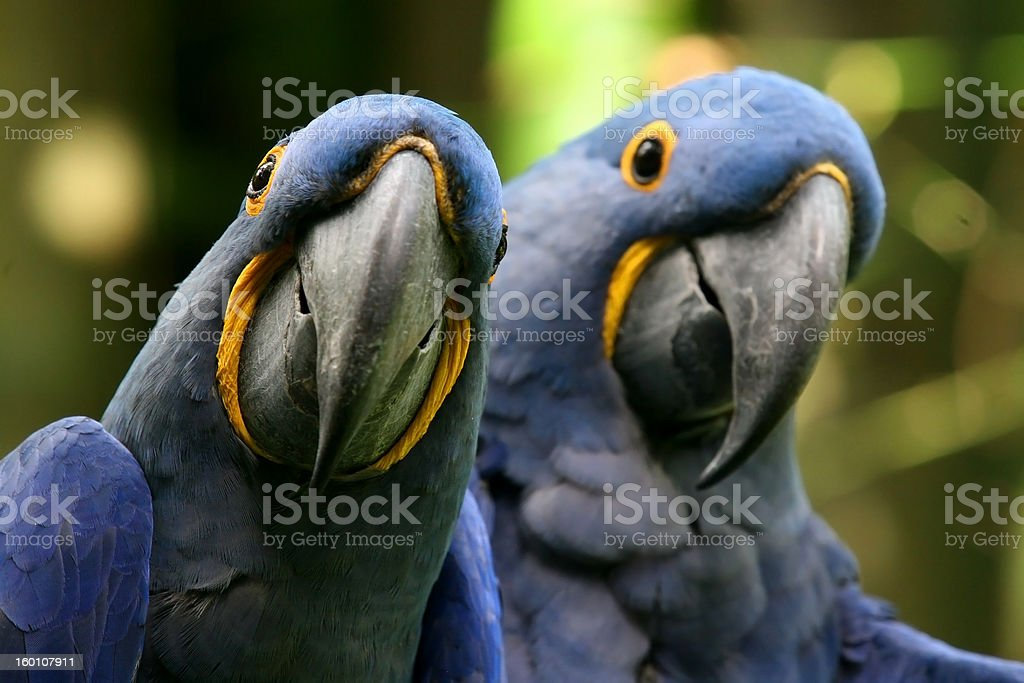 Hyacinth Parrot Close Up royalty-free stock photo