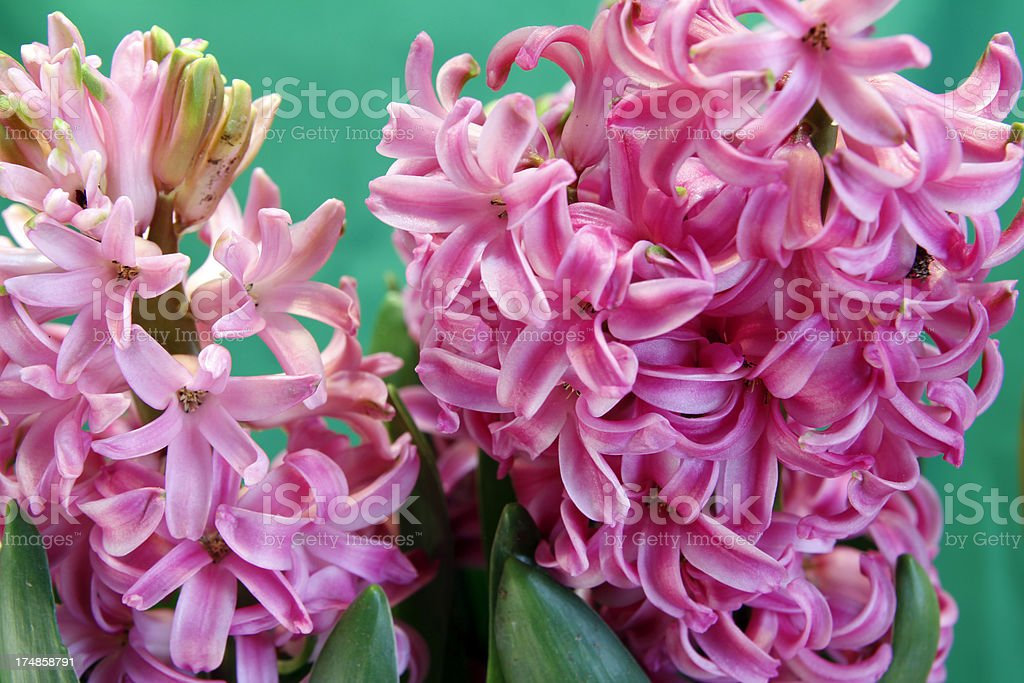 Hyacinth royalty-free stock photo