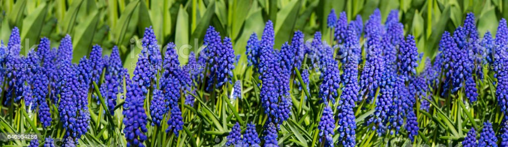 Hyacinths fields in the spring stock photo