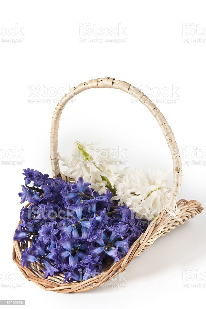 hyacinths  flowers in basket royalty-free stock photo