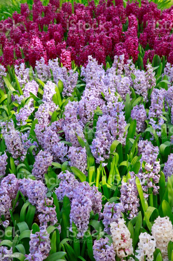Hyacinths in the garden stock photo