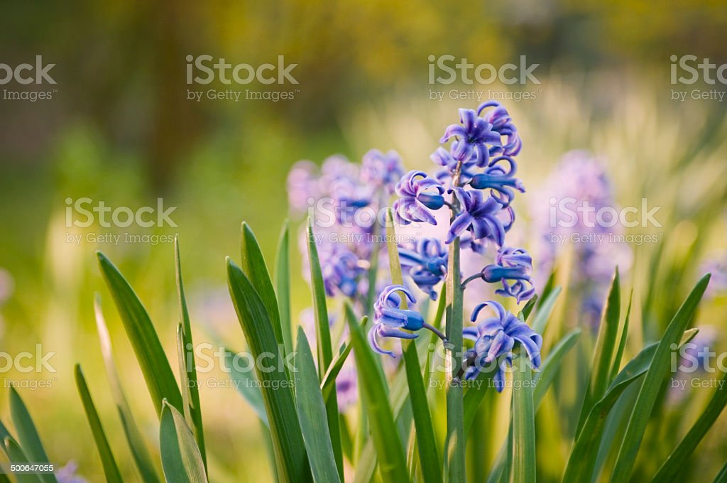 Hyacinthus orientalis in foreground stock photo