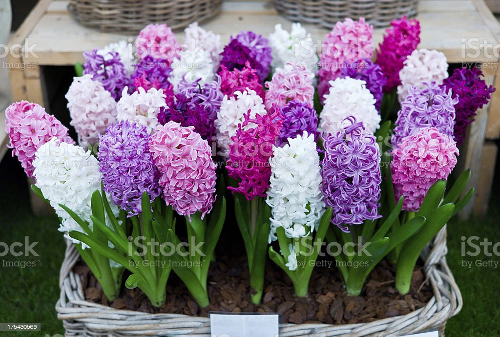 Hyacinthus Orientalis sale and display stand stock photo