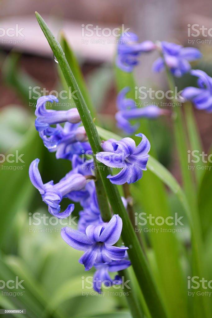 hyacith flowers stock photo