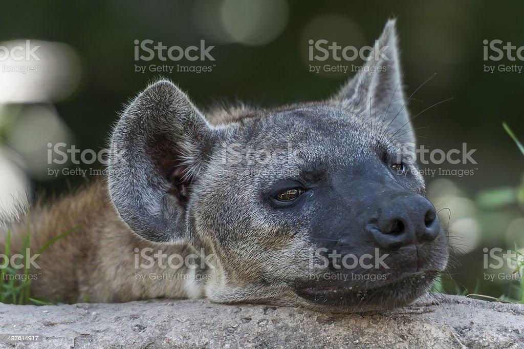Hyaenidae stock photo
