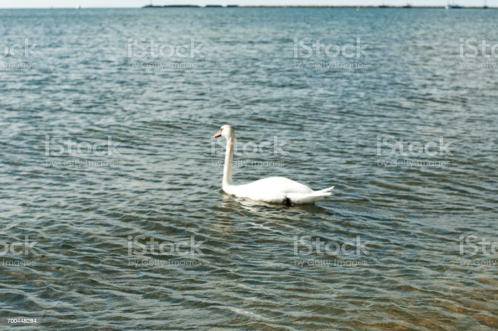 Hyannis Swan stock photo
