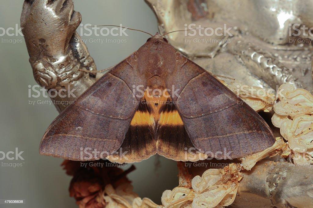 Hyas coronata Moth stock photo