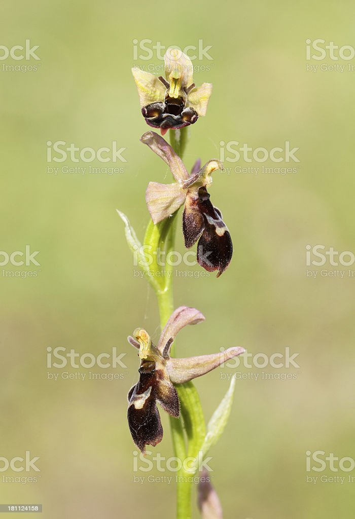Hybrid Bee Orchid and Fly Orch. stock photo