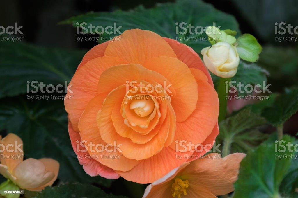 Hybrid Begonia tuberhybrida flower in salmon orange color in Tasmania, Australia stock photo