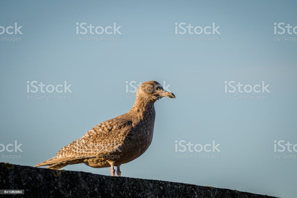 Hybrid bird, a mix of European Herring Gull Larus argentatus and Glaucous gull Larus hyperboreus standing on a wall stock photo