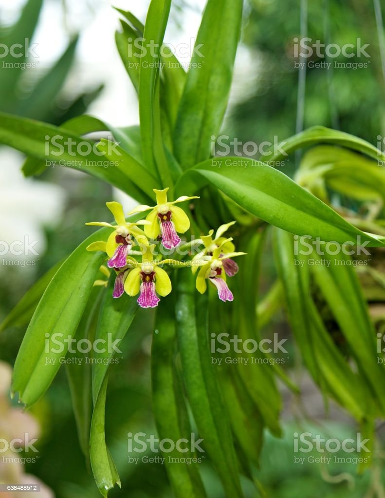 Hybrid Orchid stock photo