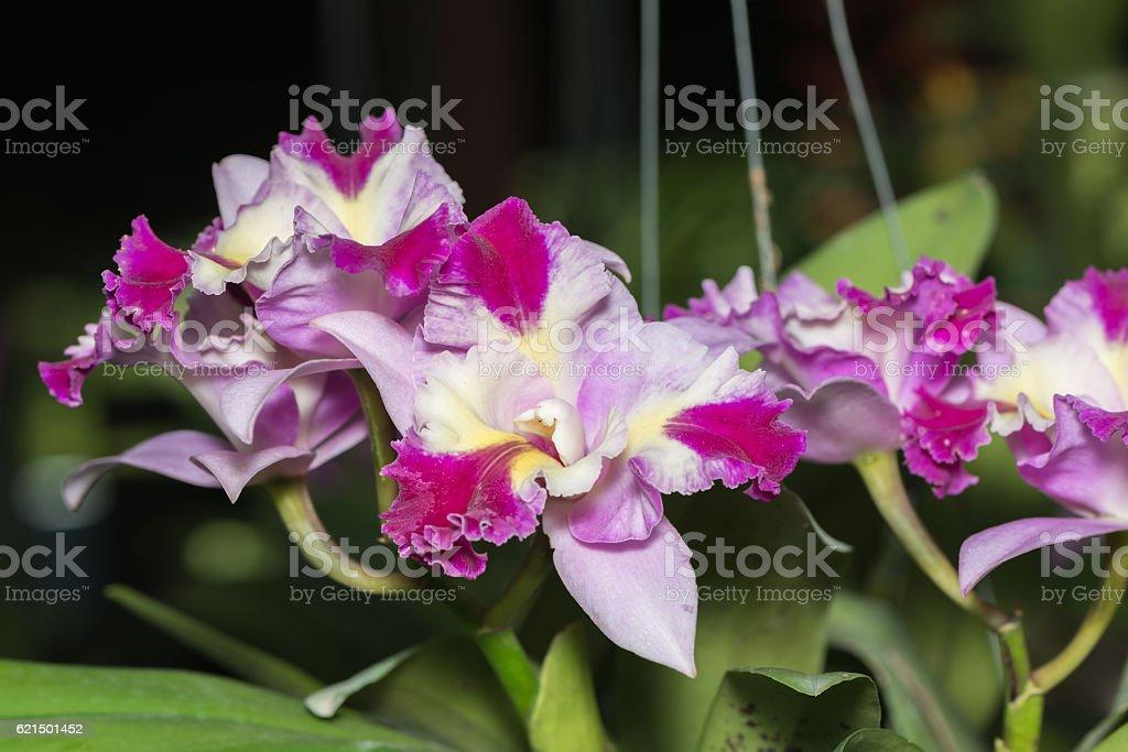 Hybrid pink cattleya orchid flower stock photo