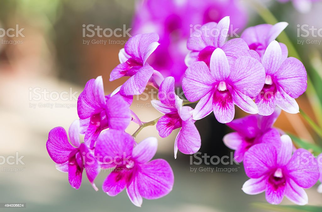 Hybrid pink dendrobium orchid flower stock photo