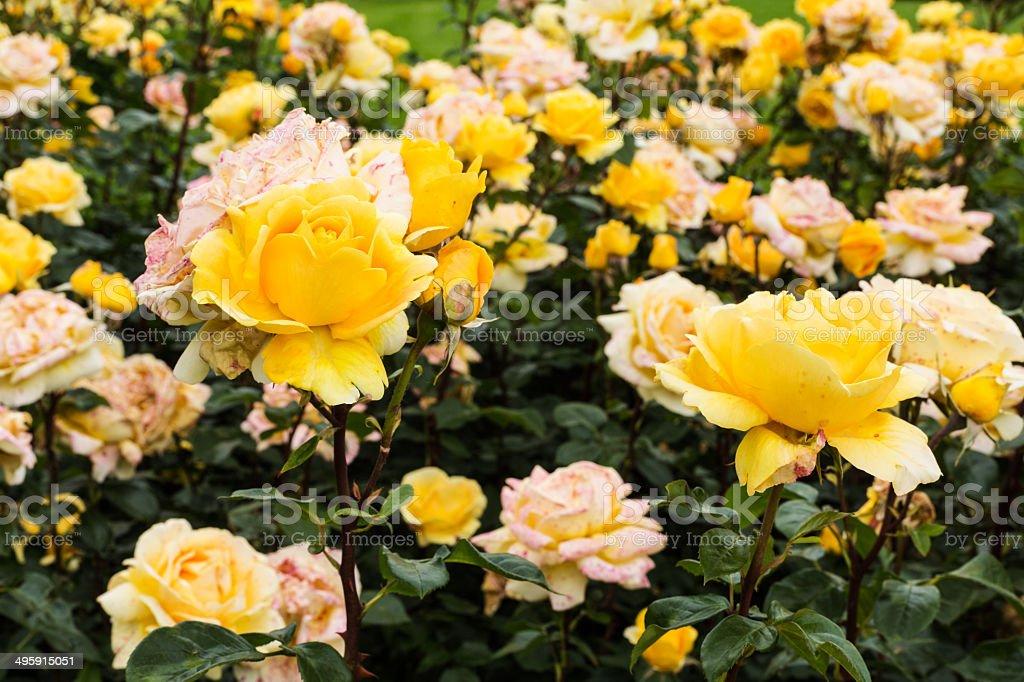 Hybrid Tea Rose stock photo