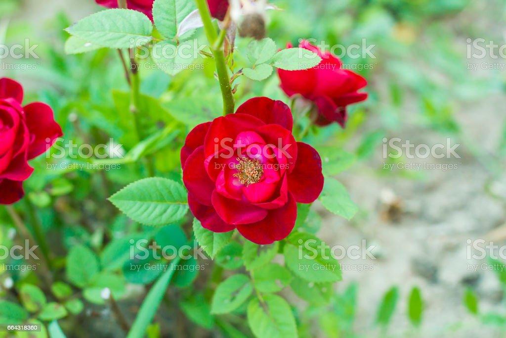 Hybrid Tea rose red flower in summer garden top view stock photo