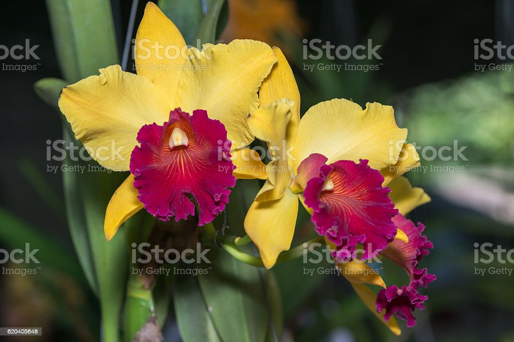 Hybrid yellow with red cattleya orchid flower stock photo