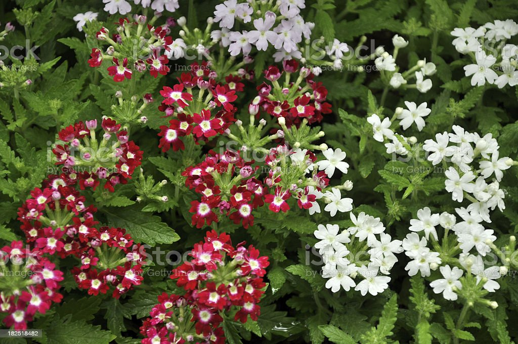 Hybrida / Garden Verbena stock photo