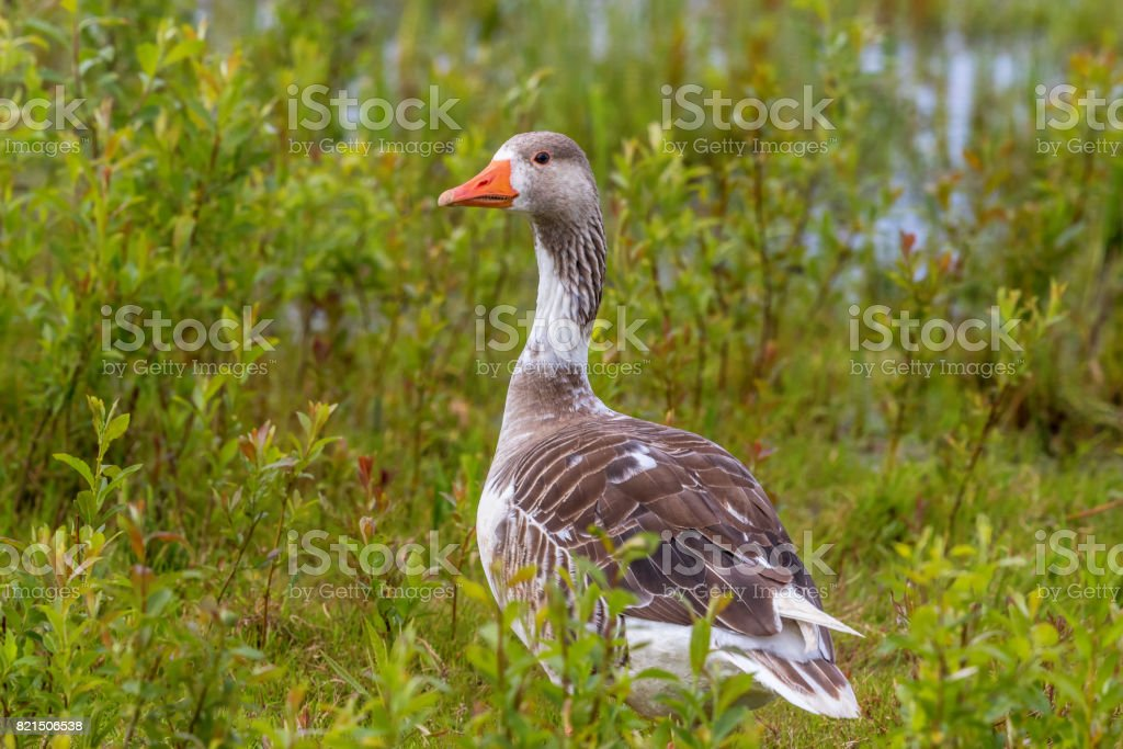 Hybridized goose in a meadow at the beach stock photo