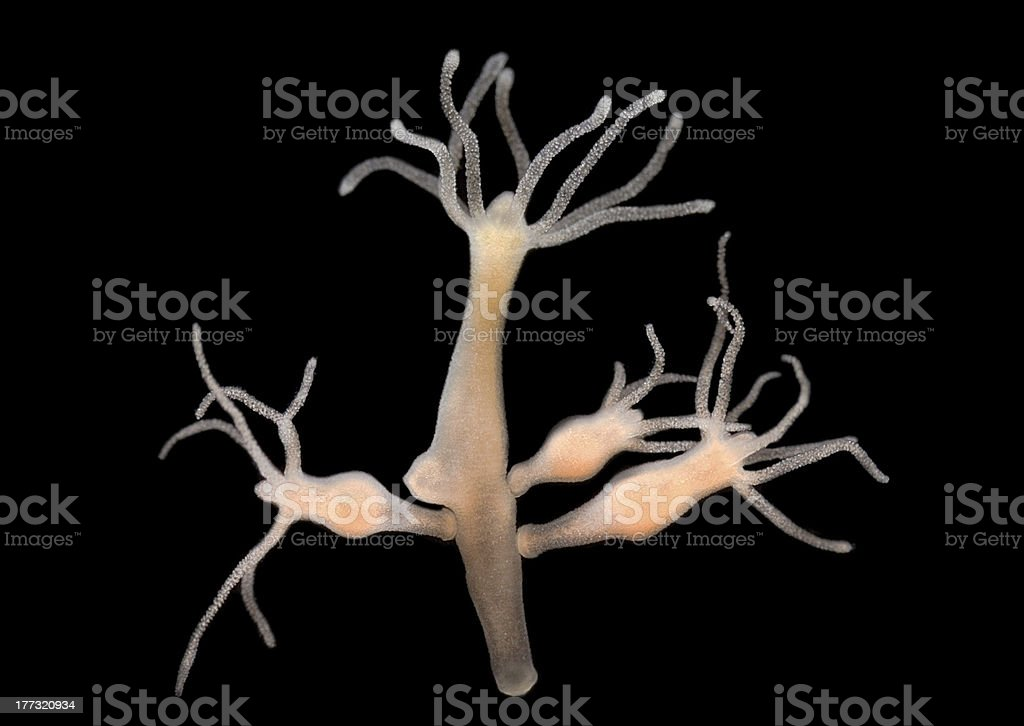 Hydra vulgaris - freshwater hydroid stock photo