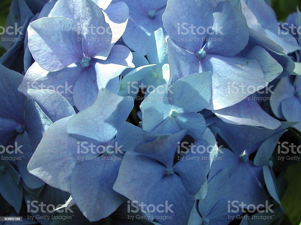 Hydrangea  2 royalty-free stock photo
