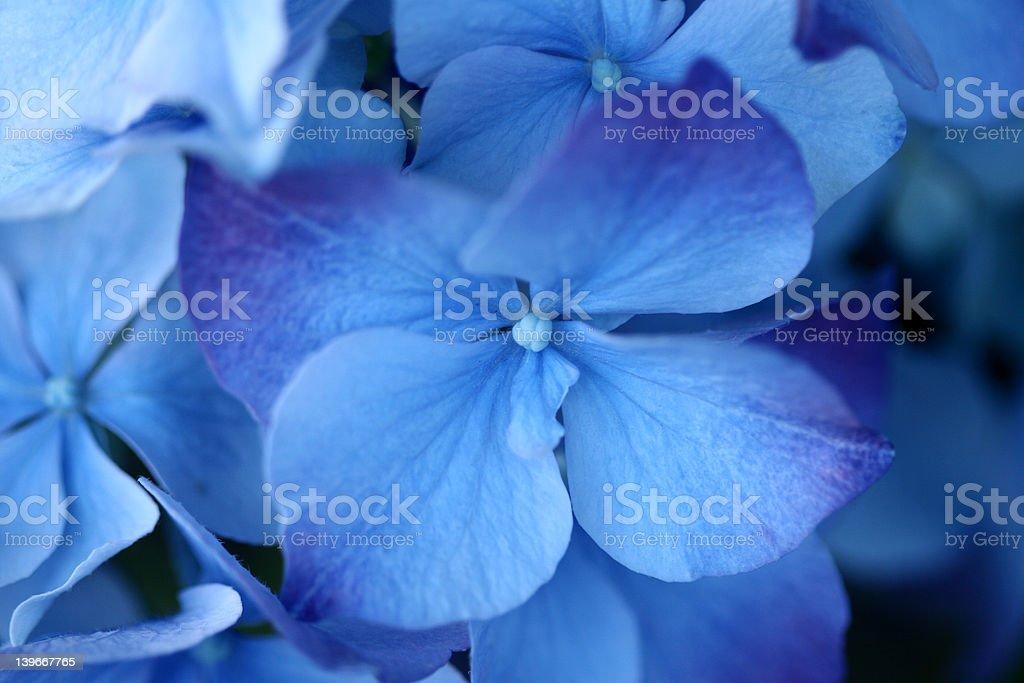 Hydrangea Altona royalty-free stock photo