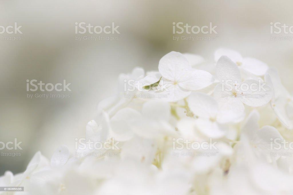 Hydrangea and a grasshopper stock photo
