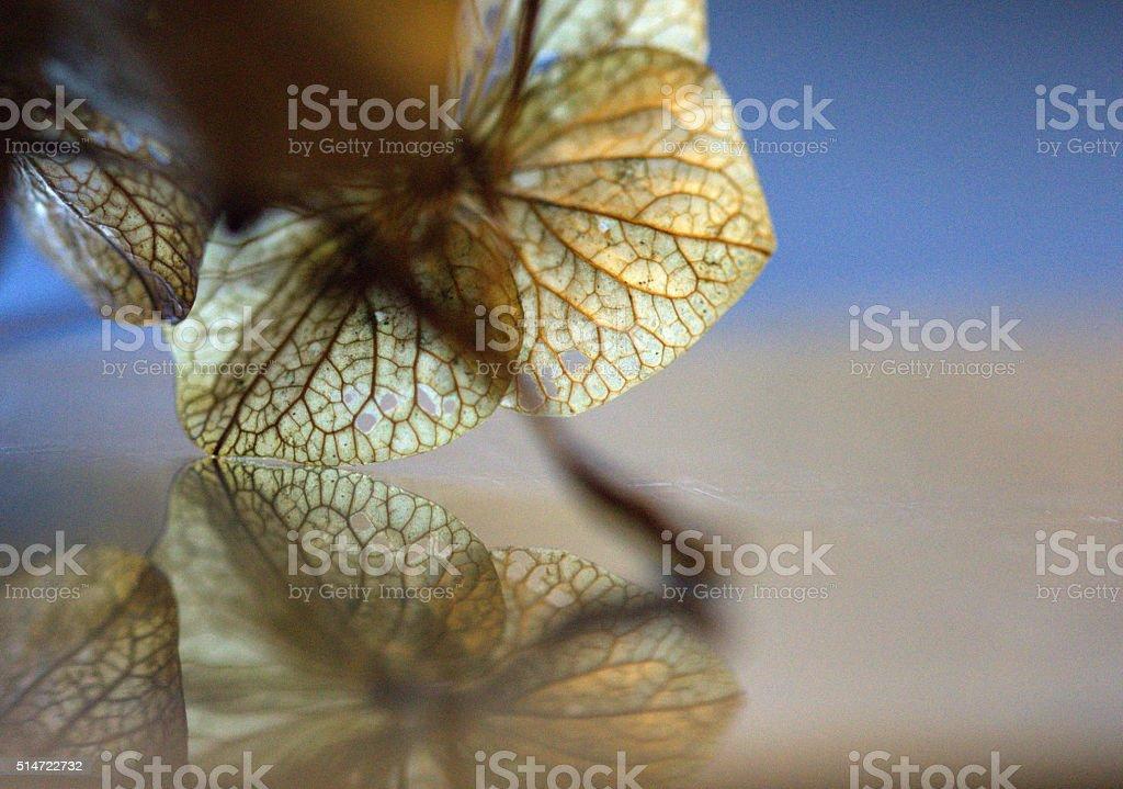 Hydrangea and Reflection stock photo