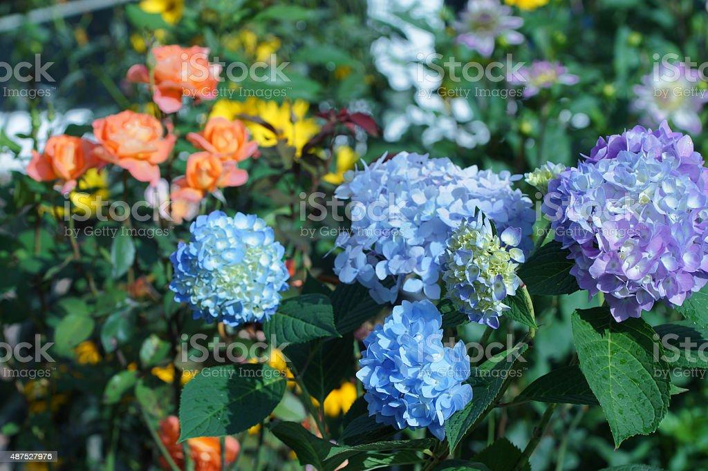 Hydrangea and roses stock photo
