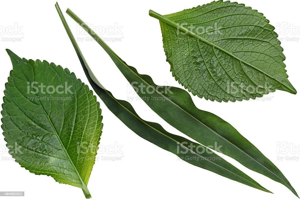 Hydrangea and Stokesia Leaf stock photo
