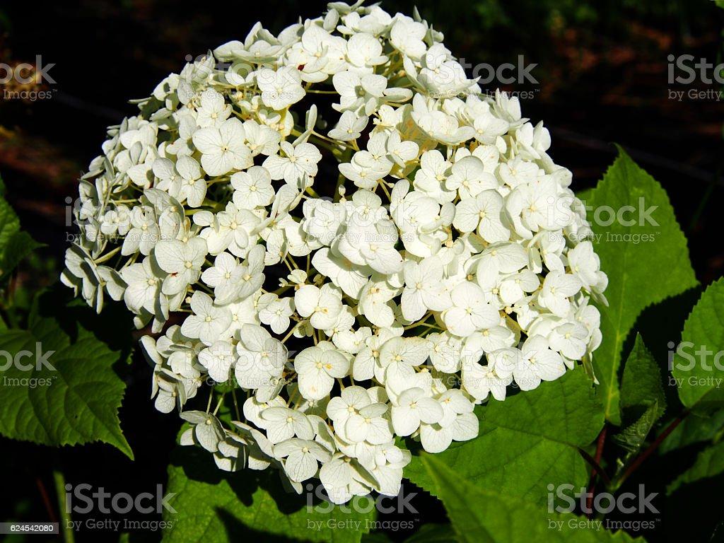 Hydrangea arborescens 'Anabelle' stock photo