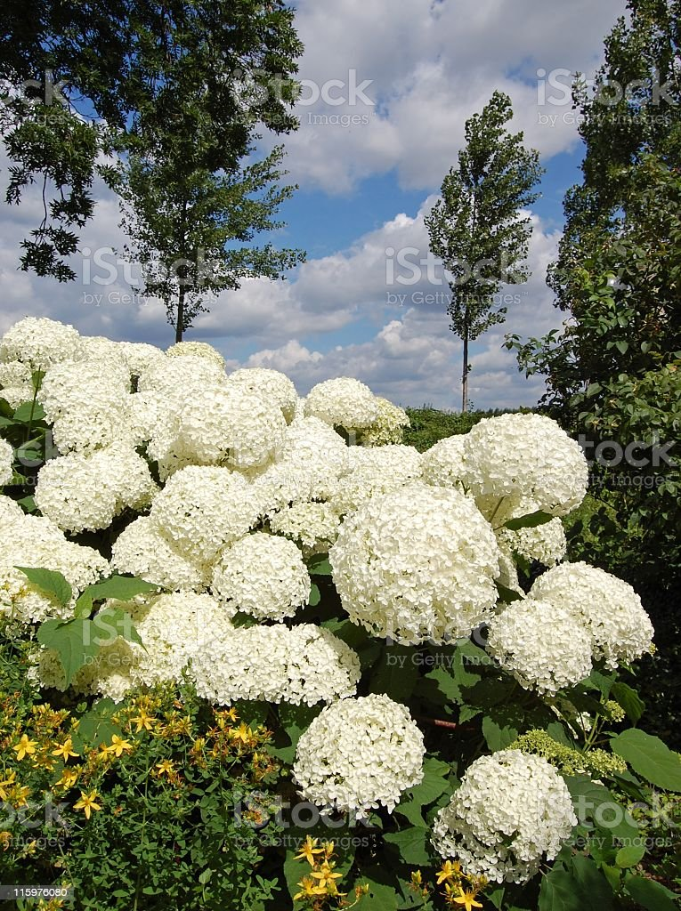 Hydrangea arborescens Annabelle royalty-free stock photo