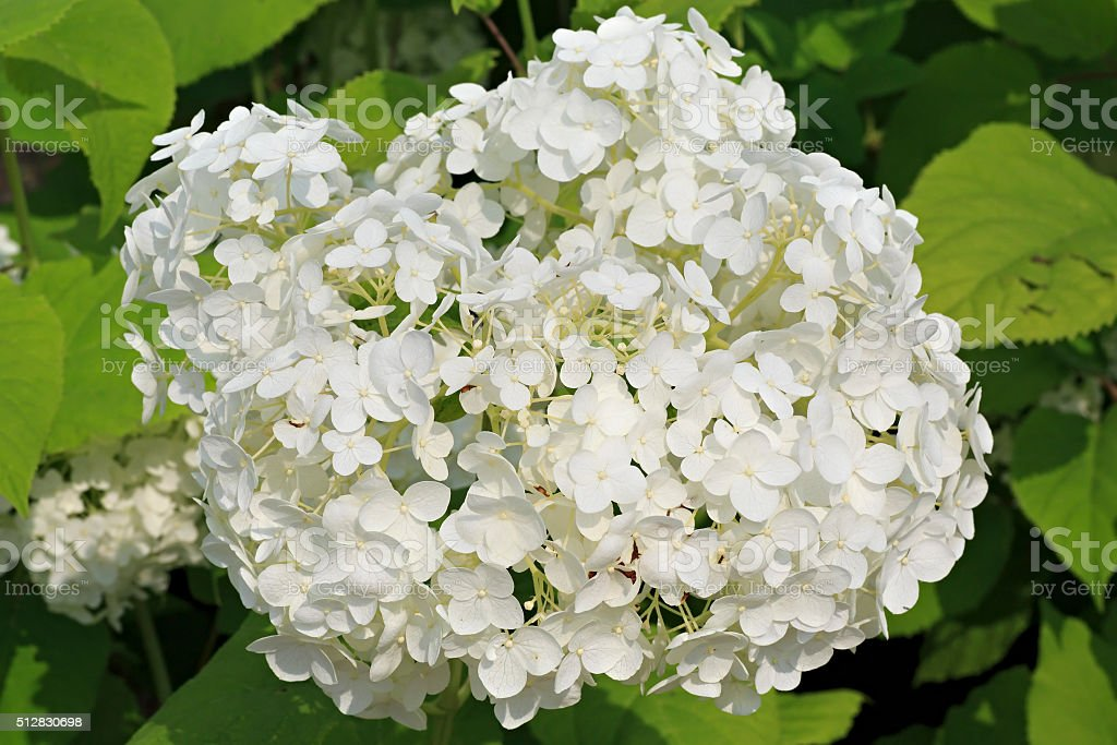 Hydrangea arborescens or sevenbark stock photo