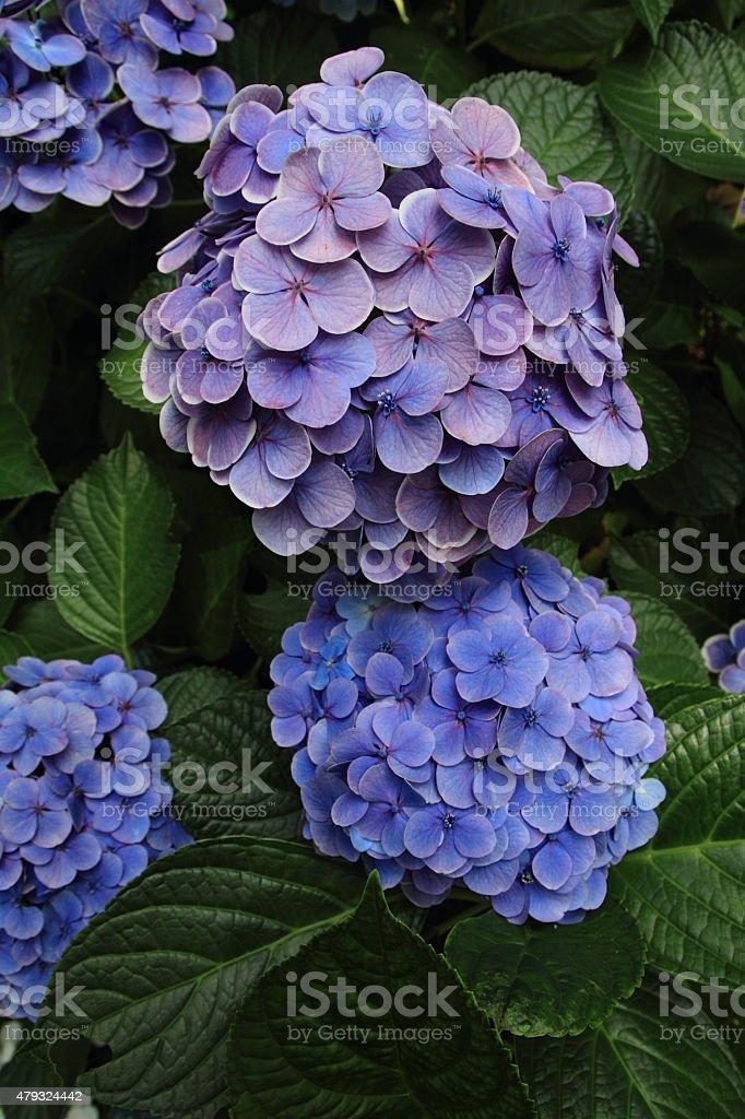 Hydrangea at Hase temple stock photo