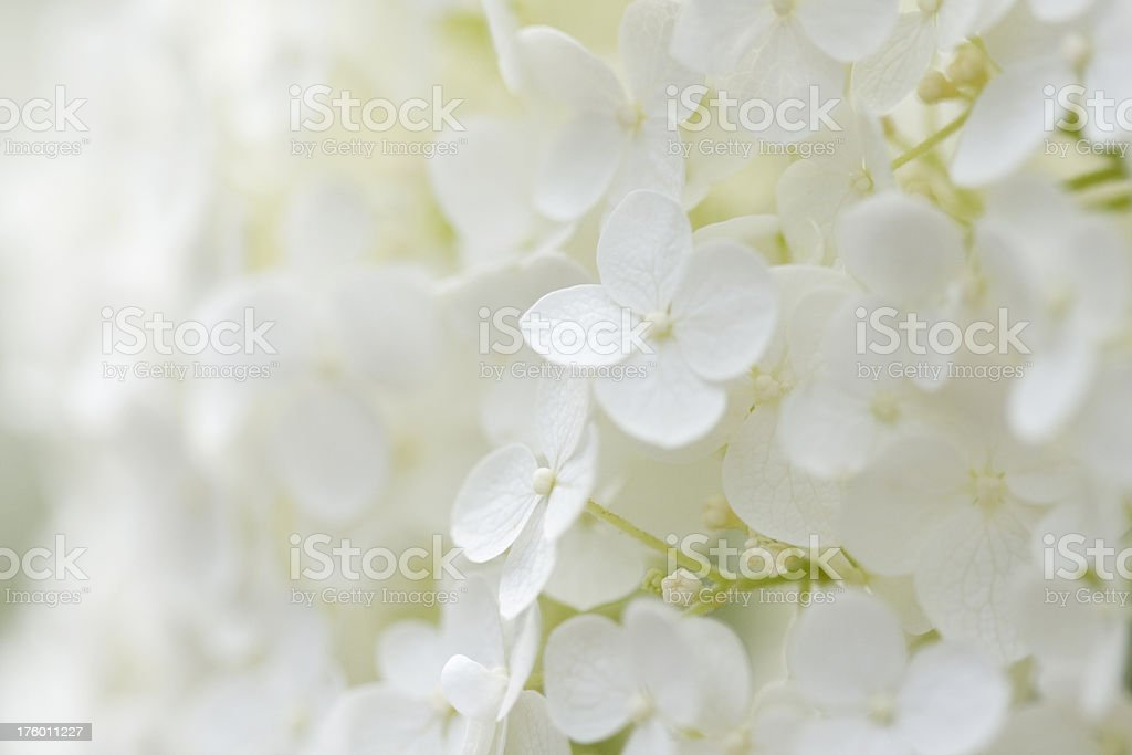 Hydrangea Background stock photo
