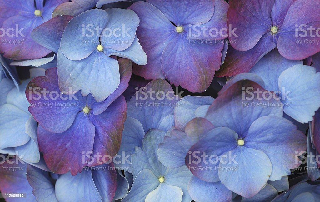 hydrangea blossoms royalty-free stock photo