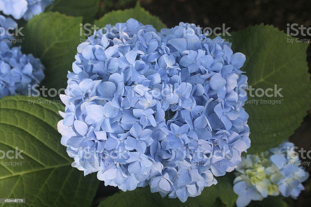 Hydrangea Blue Flower Graphics royalty-free stock photo