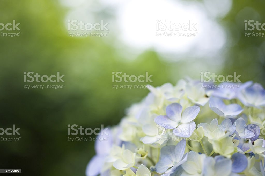 Hydrangea close up royalty-free stock photo