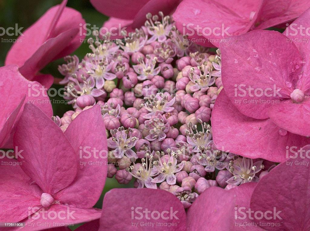 Hydrangea close up royalty-free stock photo