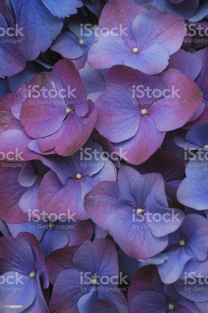 Hydrangea cultivar blossoms royalty-free stock photo