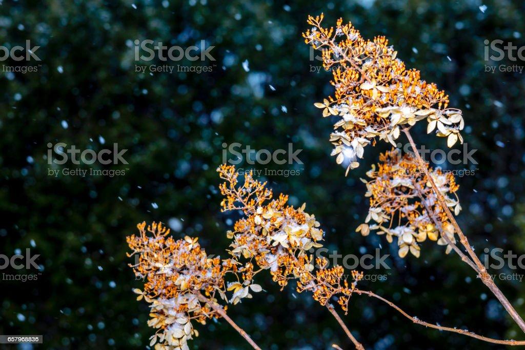 Hydrangea en hiver stock photo