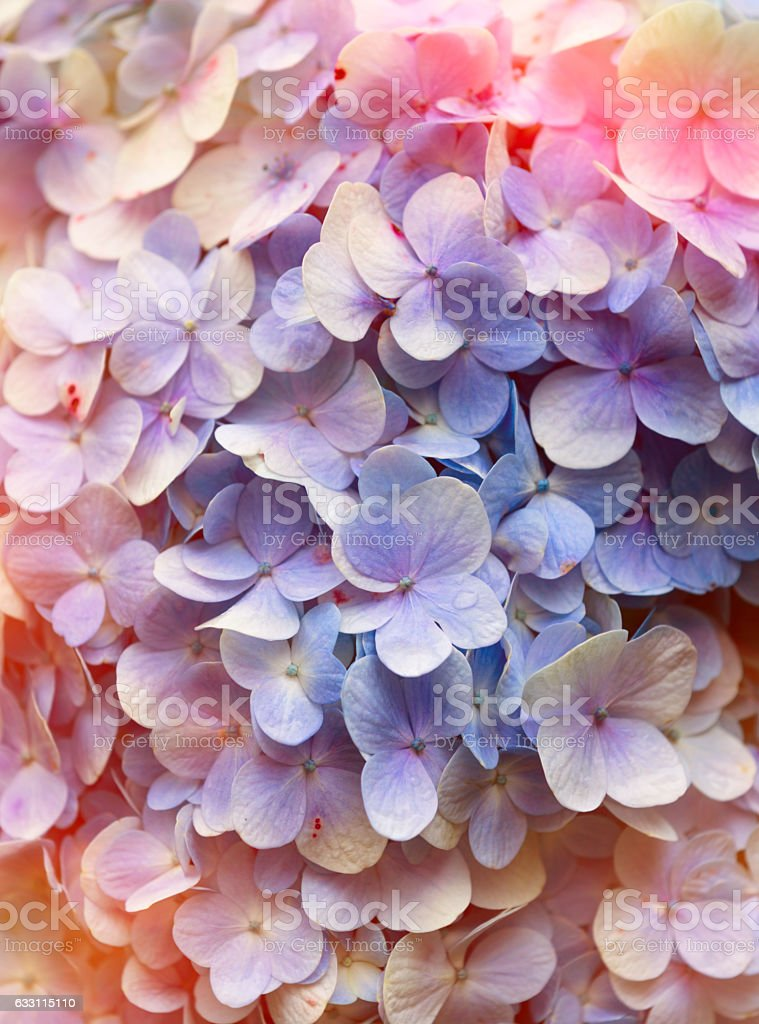 Hydrangea floral background. stock photo