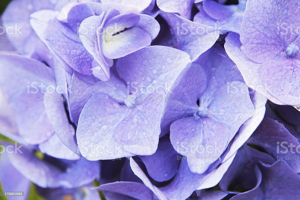 Hydrangea Flower Blossom Spring Perennial Macro royalty-free stock photo