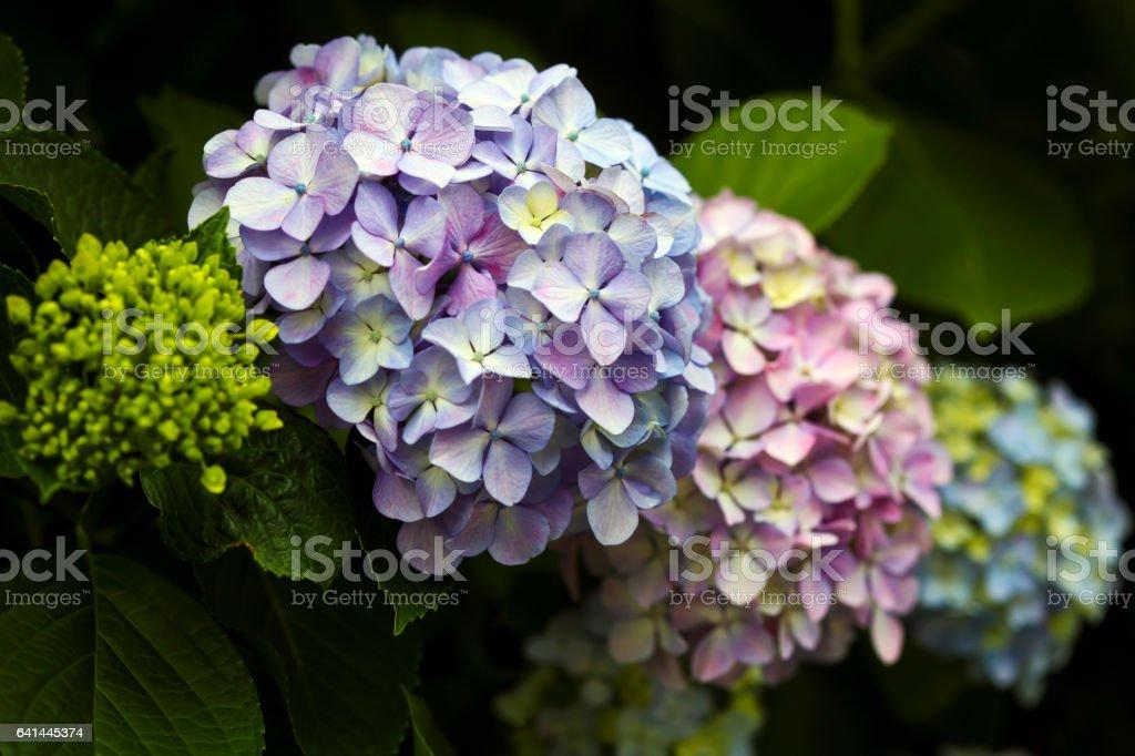 Hydrangea Flower Heads stock photo