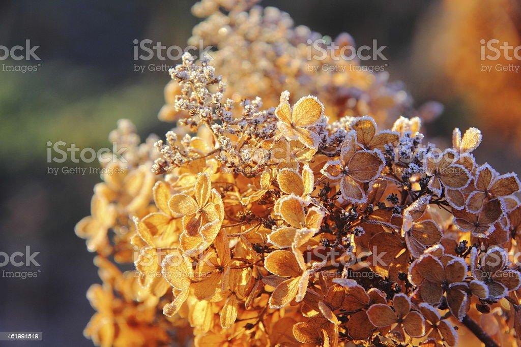 Hydrangea. Flower. Hoarfrost. stock photo