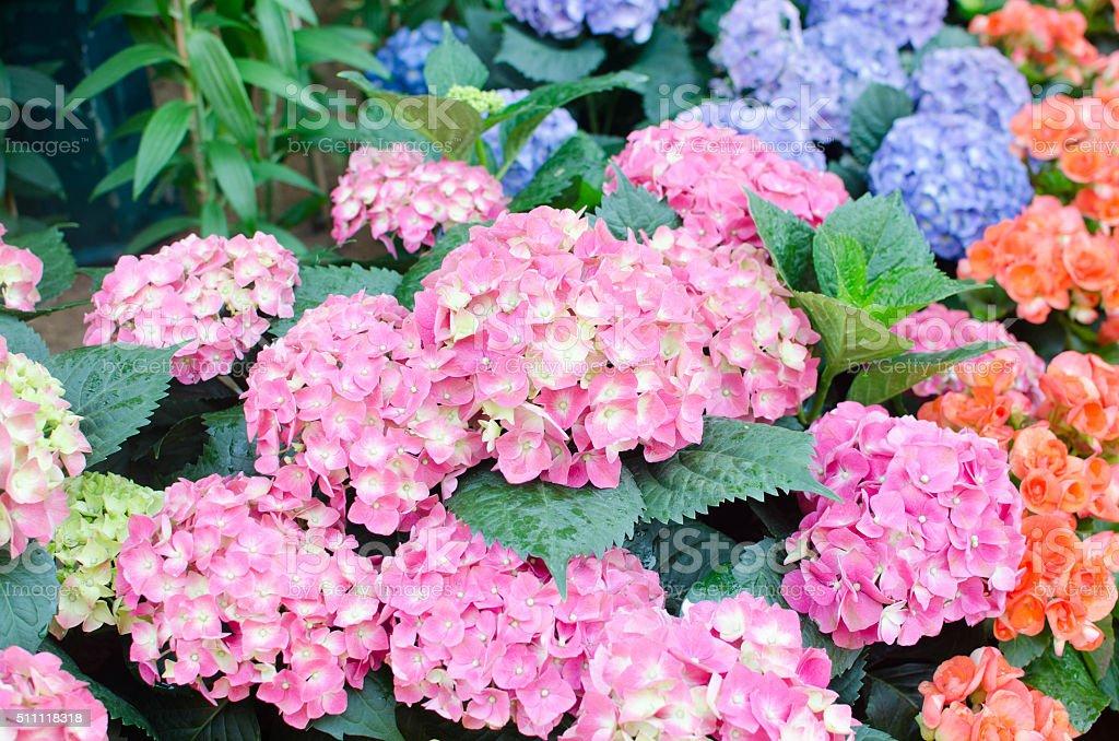 Hydrangea flower .Hydrangea in a garden.